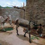 Os burros são usados para puxarem carroças